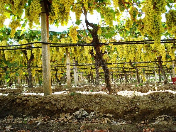 240 thousand tons of grapes are under covers
