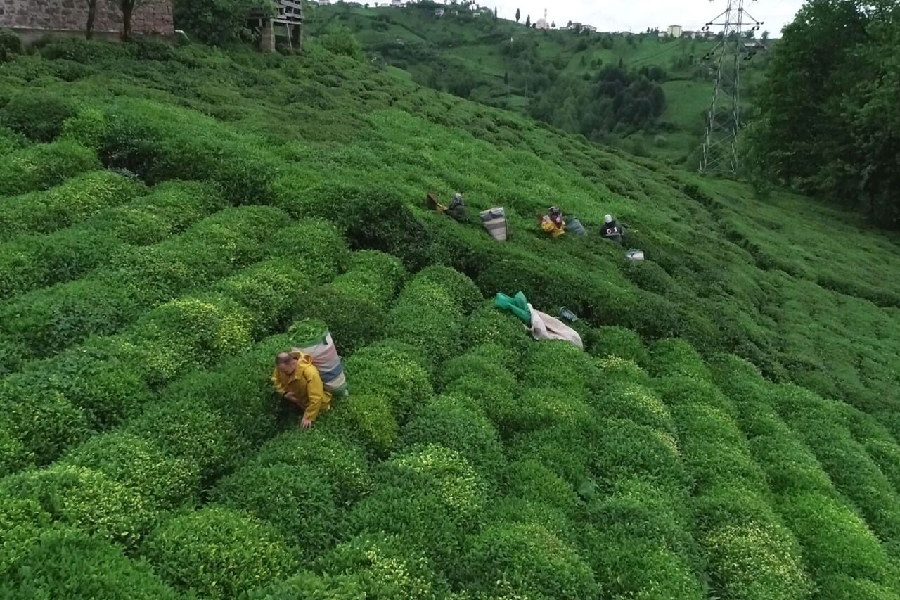 Promises made to the tea producer did not kept