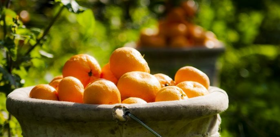 Russia sent 370 tons of mandarin turned back from Turkey